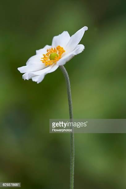 Japanese anemone Anemone hupehensis var japonica cultivar