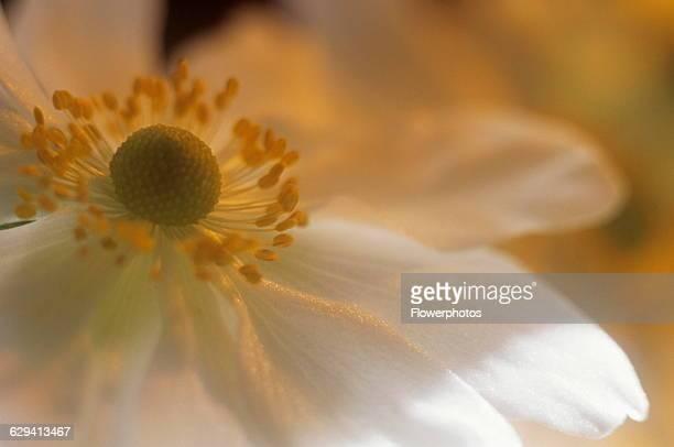 Japanese anemone Anemone japonica variety not identified