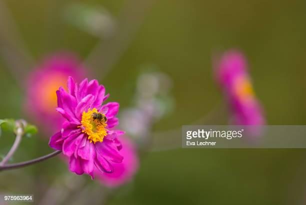 Japanese Anemone & Bee