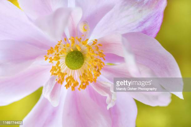 japanese anemone - mandy pritty stock pictures, royalty-free photos & images