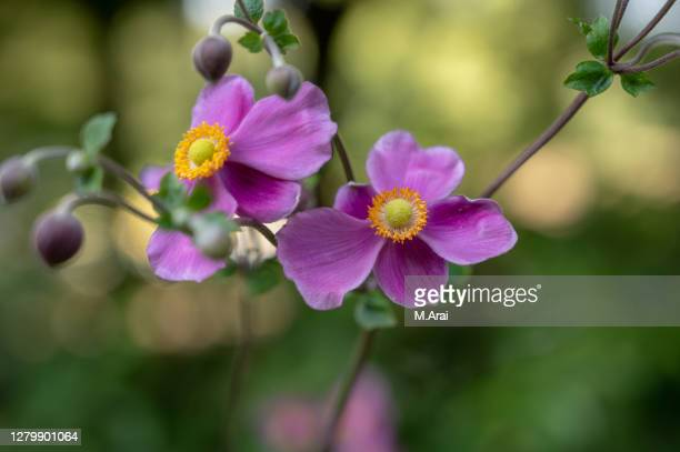 japanese anemone - japan stock pictures, royalty-free photos & images