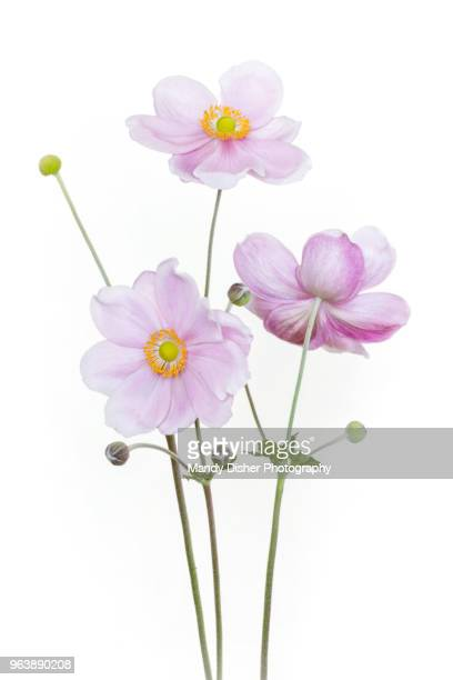 japanese anemone - flower stock pictures, royalty-free photos & images