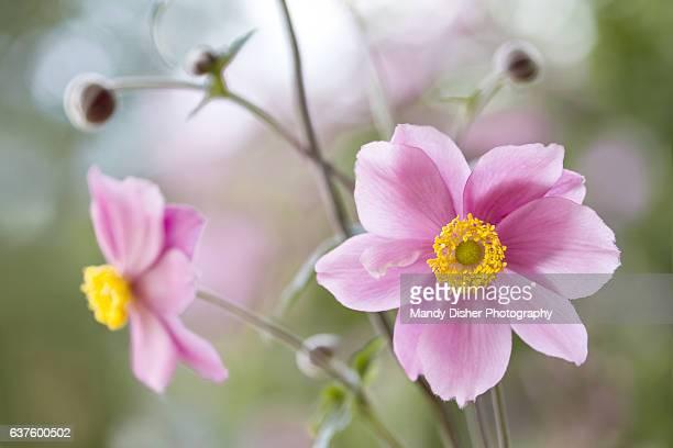 Japanese Anemones