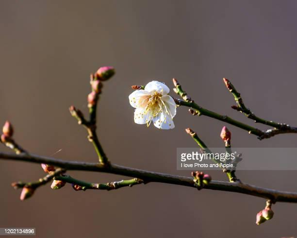 japanese apricot - 果樹の花 ストックフォトと画像