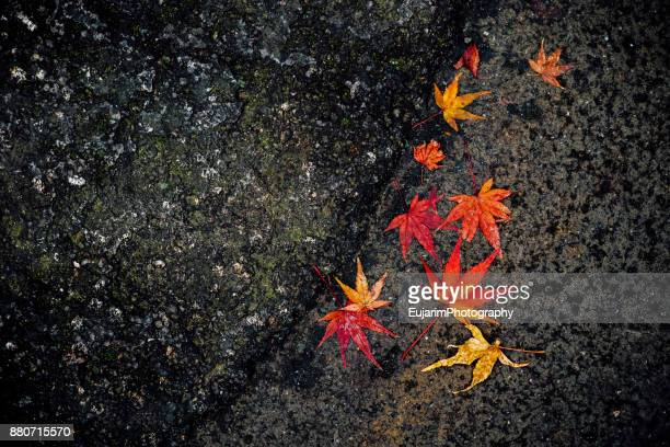 Japanese autumn foliage concept with multi-colored maple leaves on rocks