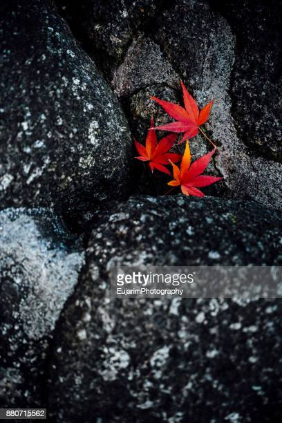 Japanese autumn foliage concept with three red maple leaves on rocks
