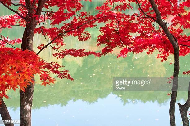 Japanese Autumn Trees
