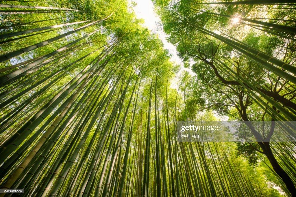 Japanischem Bambus-Wald : Stock-Foto