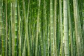 Japanese bamboo grove.