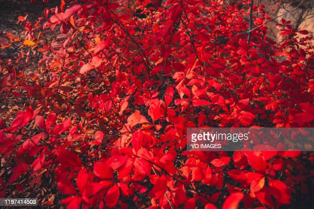 japanese barberry. red leaf barberry. beautiful background image for canvas painting - burning bush stock pictures, royalty-free photos & images