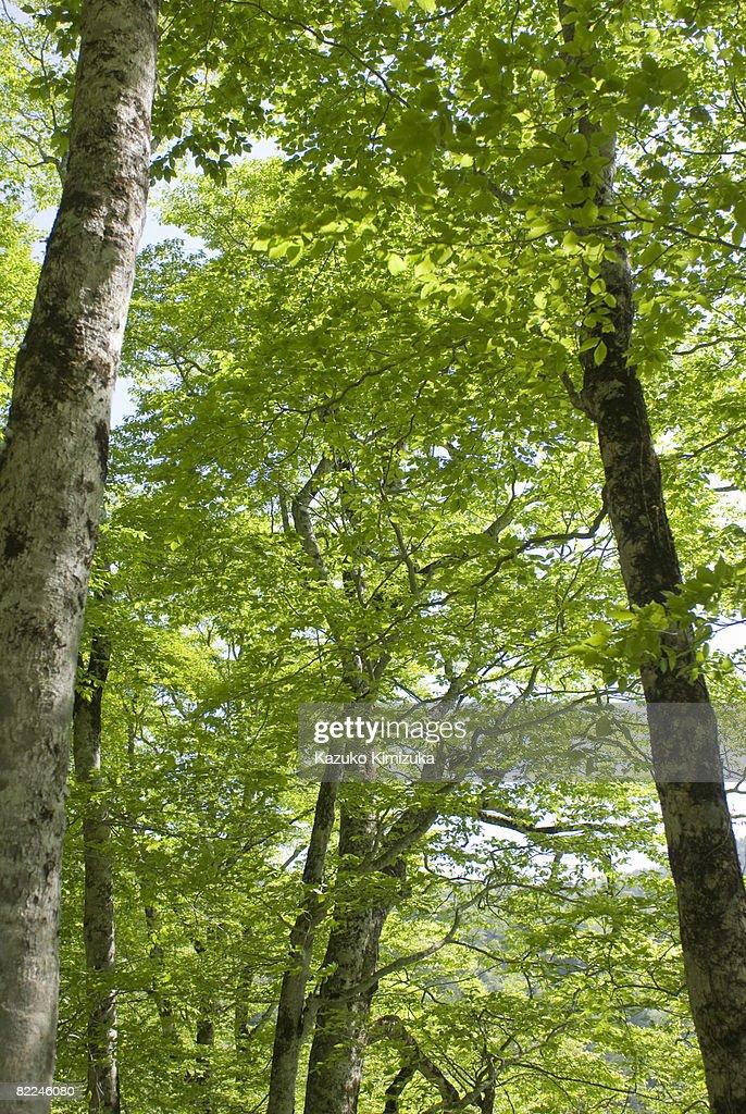 Japanese Beech tree(Buna tree) : Stock Photo