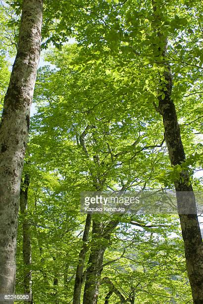 japanese beech tree(buna tree) - kazuko kimizuka stock pictures, royalty-free photos & images
