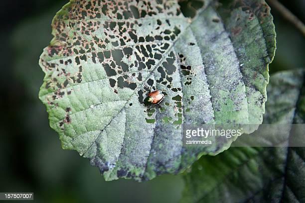 Japanese beetle eating away at a leaf