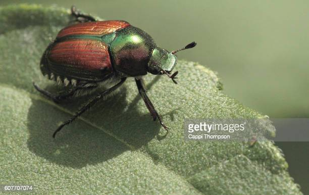 japanese beetle (popillia japonica) on a leaf - coleottero foto e immagini stock