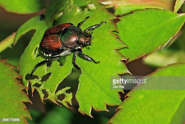 japanese beetle (popillia japonica) on partly eaten rose leaf - macro - pest stock photos and pictures