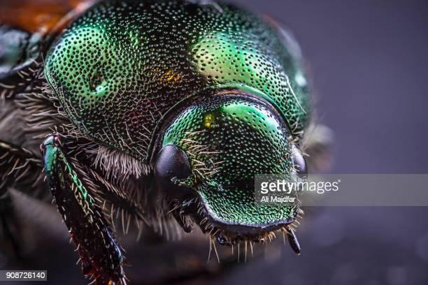 Japanese Beetle  (Popilla japonica)