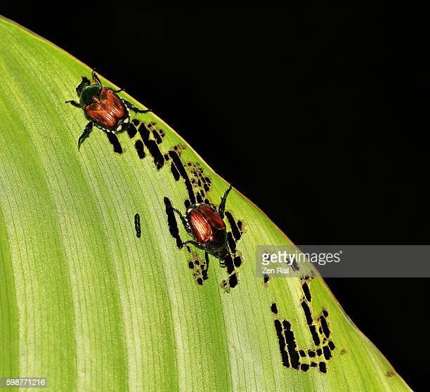 Japanese beetles (Popillia japonica) feeding on leaf - macro