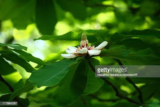 japanese bigleaf magnolia flower - magnolia obovata stock photos and pictures