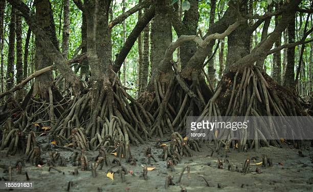 Japanese black mangrove roots, Okinawa, Iriomote