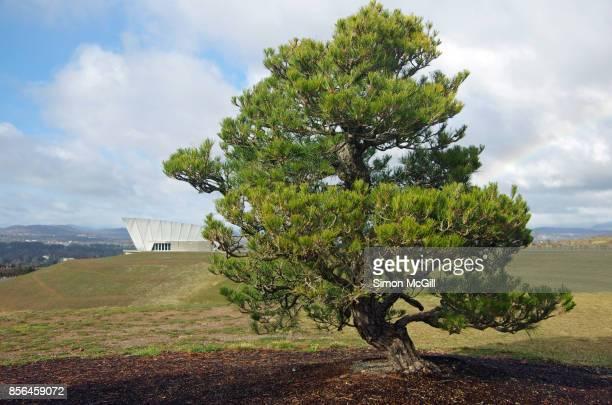 Japanese Black Pine (Pinus thunbergii), National Arboreatum Canberra, Canberra, Australian Capital Territory, Australia