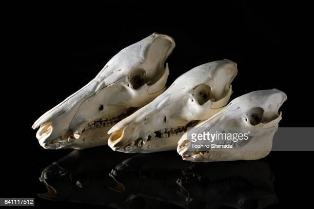Japanese boar's skull