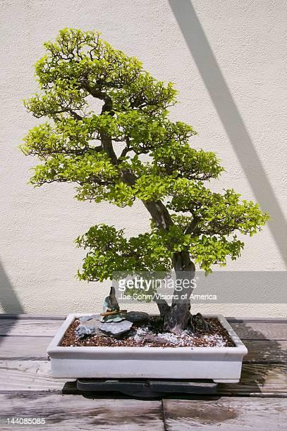 Japanese Bonsai tree in National Arboretum Washington DC