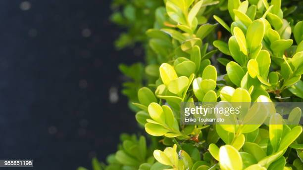 Japanese box, Buxus microphylla