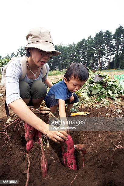 日本の少年採取サツマイモ