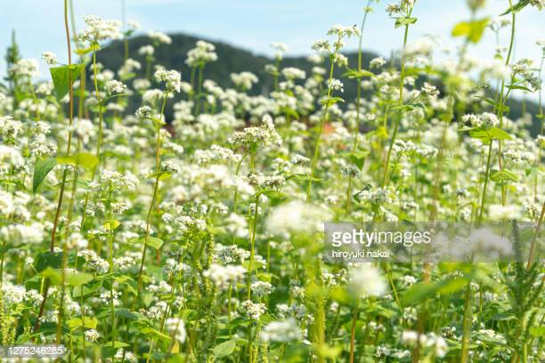 japanese buckwheat flower - buckwheat stock pictures, royalty-free photos & images