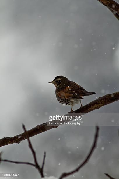Japanese bush warbler cettia diphone