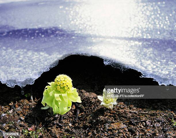 Japanese Butterbur and Ice
