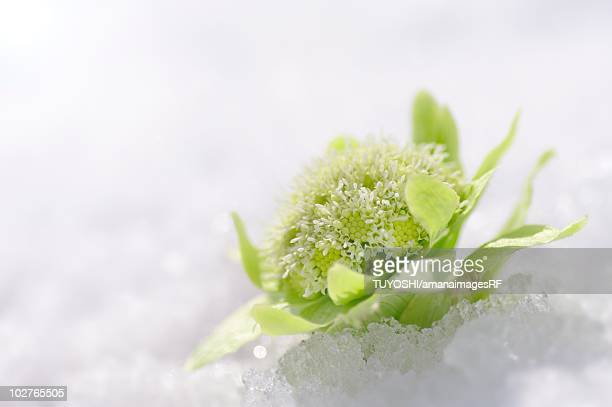 Japanese butterbur in snow, Sapporo, Hokkaido, Japan.