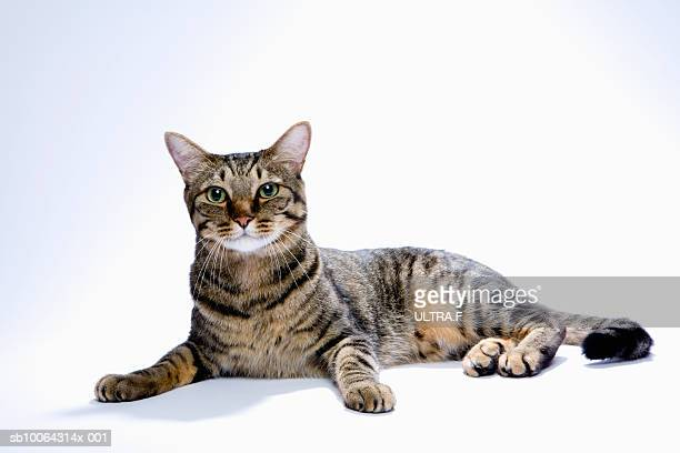 Japanese cat on white background
