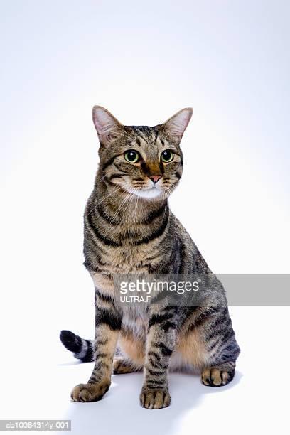 Japanese cat on white background