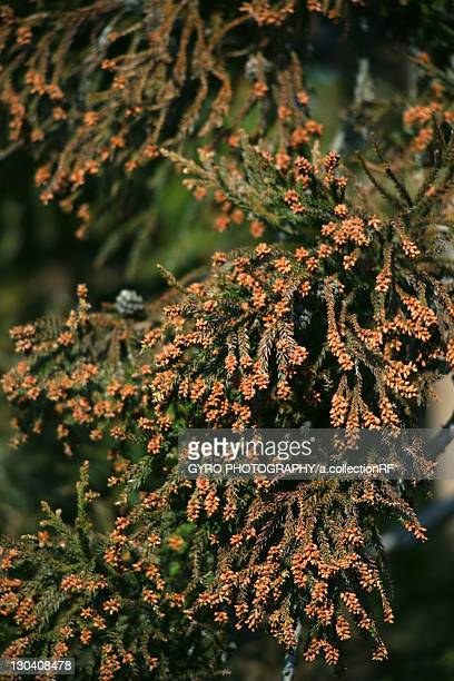 Japanese Cedar (Cryptomeria japonica) tree, close-up