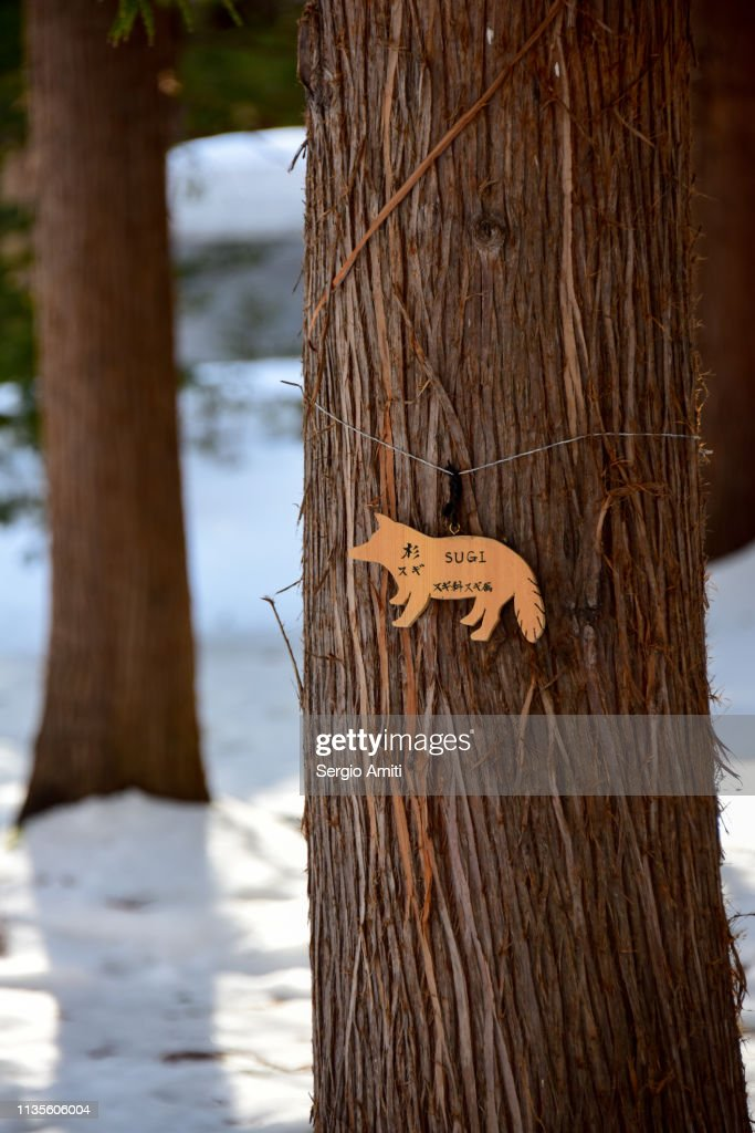 Japanese cedar tree : Stock Photo