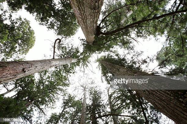japanese cedar trees - koyasan stock-fotos und bilder
