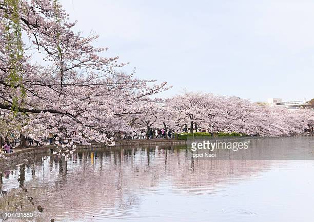 japanese cherry blossom blooming in tokyo - ueno park stock photos and pictures