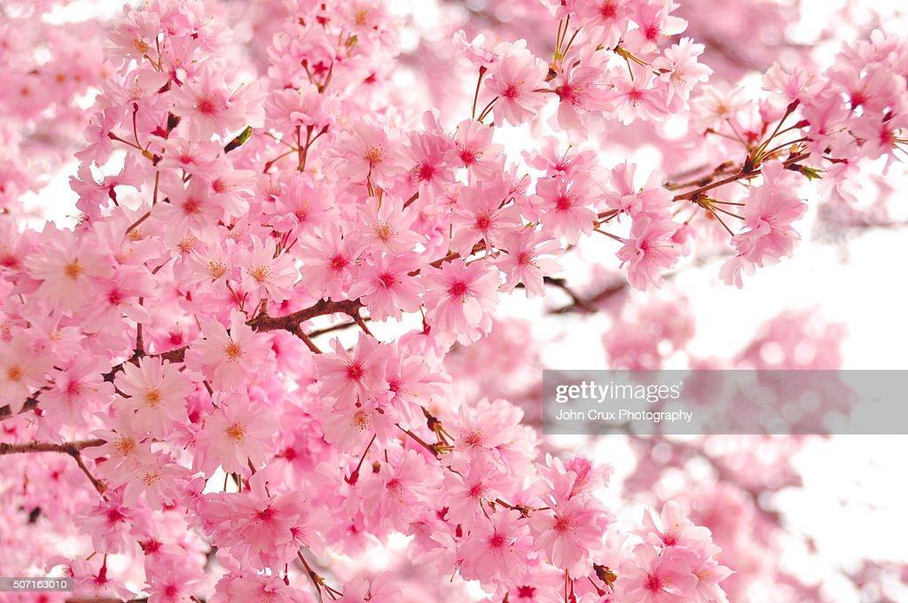 Japanese Cherry Blossom : Stock Photo