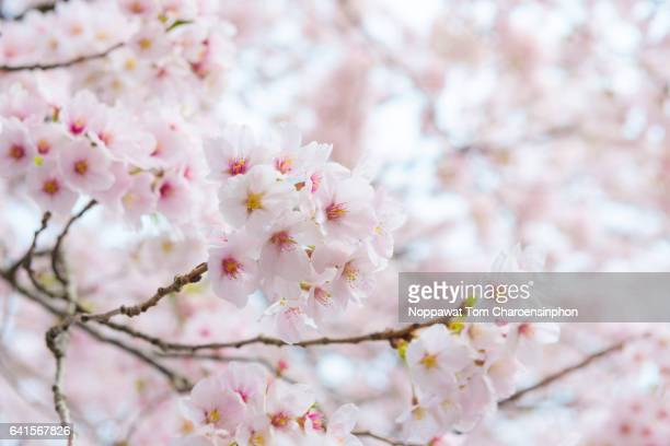japanese cherry blossom - cherry tree stock photos and pictures