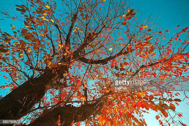 Japanese cherry blossom tree in autumn season