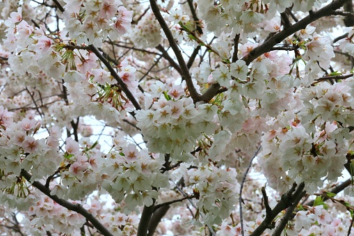 Japanese Cherry Blossom trees (Prunus serrulata) also known as Sakura - gettyimageskorea