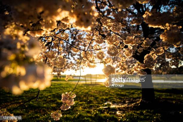 Japanese Cherry Blossom trees bloom along the National Mall following a rain shower on March 28, 2021 in Washington, DC. The Japanese cherry trees...