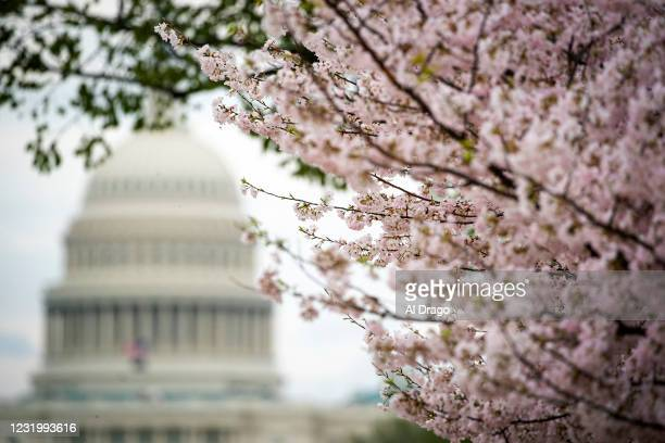 Japanese Cherry Blossom trees bloom along the National Mall on March 28, 2021 in Washington, DC. The Japanese cherry trees were gifted to Washington,...