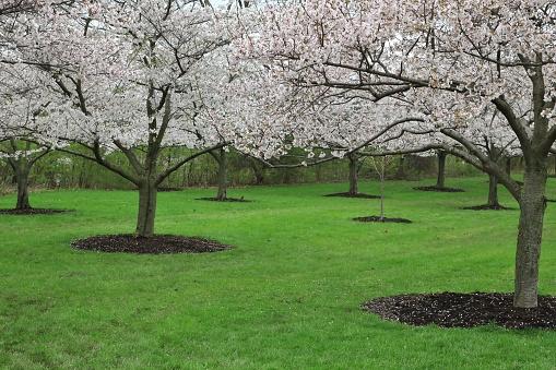 Japanese Cherry Blossom trees in full bloom (Prunus serrulata) - gettyimageskorea