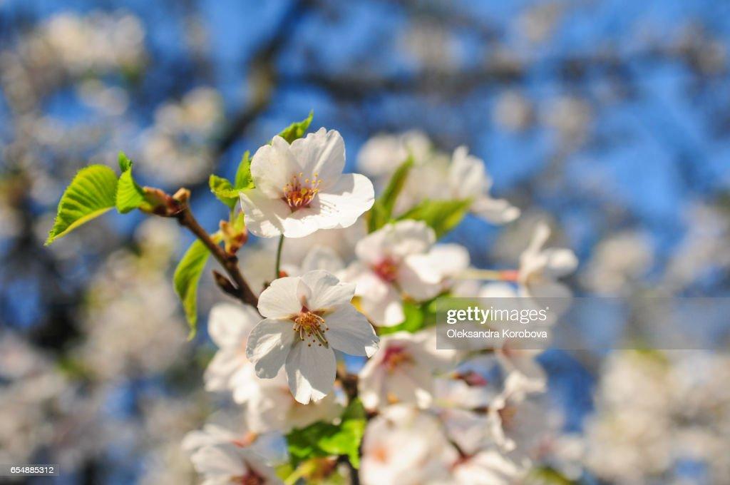 Japanese cherry blossom trees in the morning light. : Stock Photo