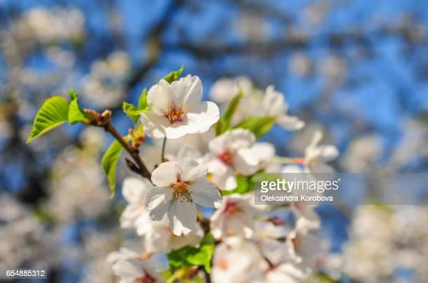 japanese cherry blossom trees in the morning light. - istock stock pictures, royalty-free photos & images