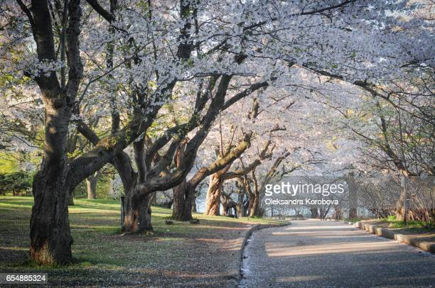 japanese cherry blossom trees in the morning light. - istock images stock pictures, royalty-free photos & images