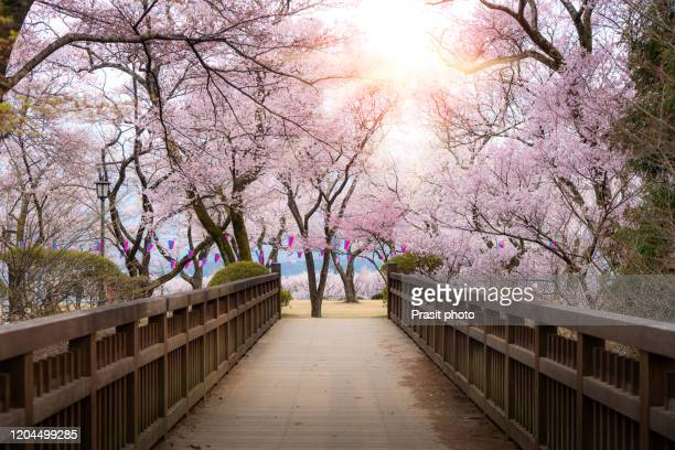 japanese cherry blossoms in full bloom with wooden bridge walkway in kasuga park with lantern during spring season in april in nagano, japan. - satoyama scenery stock pictures, royalty-free photos & images