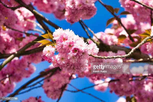 356 Japanese Cherry Blossom Wallpaper Photos And Premium High Res Pictures Getty Images